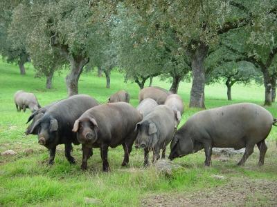 El Jamón de cerdo ibérico